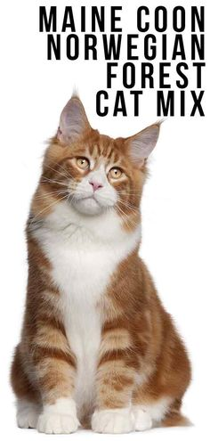 Maine Coon Norwegian Forest Cat Mix - A Killer Combination? Maine Coon Norwegian Forest Cat Mix - A Killer Combination? Funny Cat Images, Funny Cat Videos, Funny Cat Pictures, I Love Cats, Cute Cats, Cat Site, Animal Room, Animal Pics, Funny Animal