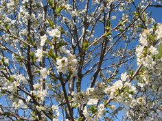 Community - A happy bee means bing cherries from a tree in Abiquiú on Von Bock Farm