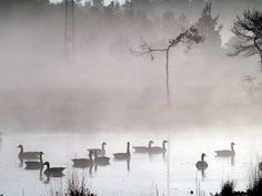 Canada geese on a misty dawn, Thursley Common, by #Dave Roberts#
