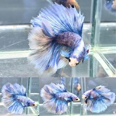 Double Tail Betta Auctions - Wed May 6 2020 Pretty Fish, Cool Fish, Beautiful Fish, Animals Beautiful, Cute Animals, Betta Fish Types, Betta Fish Tank, Fish Tanks, Colorful Fish