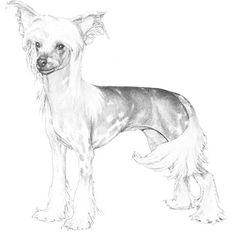 Chinese Crested Dog Breed Information Chinese Dog, Chinese Crested Dog, Dog Paws, Pet Dogs, Doggies, Cartoon Dog, Dog Cartoons, Akc Breeds, Hairless Dog