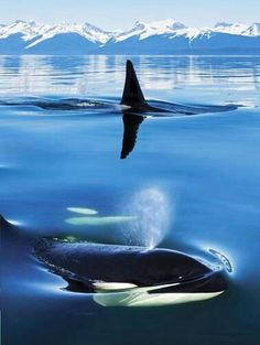 Orcas/Killer whales in ocean. where they belong . Orcas/Killer whales in ocean. where they belong . Orcas, Beautiful Creatures, Animals Beautiful, Majestic Animals, Beautiful Things, Water Life, Ocean Creatures, Killer Whales, Sea World