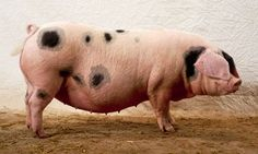 In praise of porkers: the Gloucester Old Spot | Life and style ...