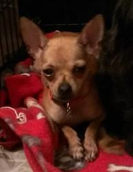 Fiona is an adoptable Chihuahua Dog in Ringwood, IL. Fiona (or Fi Fi as her foster mom calls her) is a SUPER sweet teacup Chihuahua.  She is a very smart little cookie and of course, like all Chi's, l...