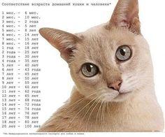 Соответствие возраста домашней кошки и человека. 0