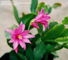 View picture of Easter Cactus (Hatiora gaertneri) at Dave's Garden.  All pictures are contributed by our community.