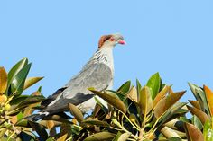 Topknot Pigeon - (Lopholaimus antarcticus)  of New South Wales, Australia.