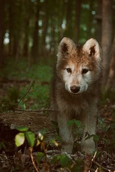 Ironwood Wolves. Image by Rachel Lauren Photography / wolf pup / baby cub / forest woodland creatures / animal