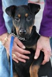 Amalia: Miniature Pinscher, Dog; Gloucester, MA