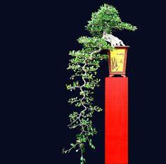 Eccentric Bonsai A Very Long Cascade Bonsai Wire, Bonsai Plants, Bonsai Garden, Bonsai Trees, Ikebana, Bonsai Tree Types, Indoor Bonsai Tree, Bonsai Meaning, Terrarium