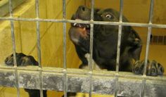 Petfinder  Adoptable | Dog | Pit Bull Terrier | Mexico, MO | Sanders - Age: 1 year Breed: Pitt/Boxer Mix