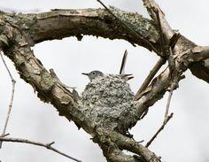 Blue-grey Gnatcatcher: 19 April 2015, Luria Park, Falls Church, VA, 2:15 p.m., partly sunny, breezy, 65 degrees