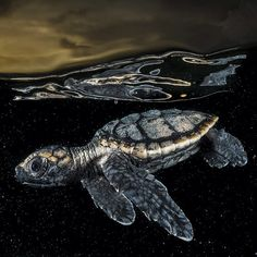 Photo by @daviddoubilet Swim for Your Life. A sea turtle #hatchling swims for the open sea at dusk in the Gardens of the Queen, National Park, Cuba. It is a race for survival. The turtle will search for the protective cover of floating weed to hide from hungry birds and fish. Very few sea turtles survive their race. There are seven species of sea turtles, nearly all of them endangered. Watch for the @natgeo story about Gardens of the Queen, Cuba.