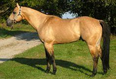Buckskin-dun quarter horse stallion - Zans Tyree Drifter