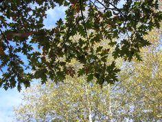 Les feuilles du chêne.