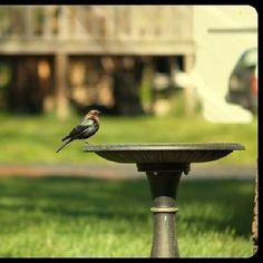 A bird talking a little drink in my yard. #bird #birds #photography #nature