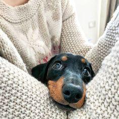 Instagram: dachshund happiness #Dachshund
