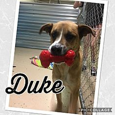 Mesa, Arizona - Great Dane. Meet DUKE 2 YR GREAT DANE MIX, a for adoption. https://www.adoptapet.com/pet/20523383-mesa-arizona-great-dane-mix