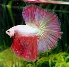 808 Red and pink rose tail OHM male