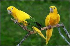 ararajuba ou guaruba_guaruba guarouba (é considerada a melhor alternativa para ser escolhida como Ave Nacional do Brasil) Brazilian Birds