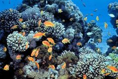 Red_sea_coral