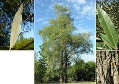 Hõberemmelgas. Salix alba L. Vaieldamatult minu lemmikpuu, vana ja väärikas.