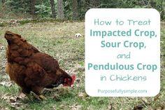 How to Treat Impacted Crop, Sour Crop, and Pendulous Crop via @https://www.pinterest.com/purposesimple/