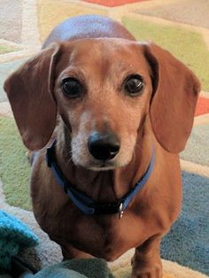 Dachshund dog for Adoption in Los Angeles, CA. ADN-420649 on PuppyFinder.com Gender: Female. Age: Senior