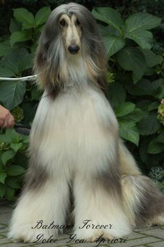 Afghan Hound, Afghans, Dog Grooming, Dogs And Puppies, Passion, Pets, Lady, Beauty, Beautiful