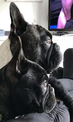 Father & son French bulldog