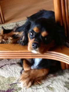 ♥ I just adore these Cavaliers! The black and tan (here) and the ruby grab me and won't let go.