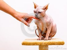Sphynx cat breed, friend hand caress comfort, isolated white background. Sphinx Cat, Catwoman, Cat Breeds, Arms, Stock Photos, Friends, Photography, Animals, Image