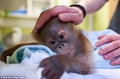 Endangered: Orangutans are considered the most intelligent of all ape species but some experts believe they could go extinct within 25 years