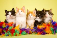 Norweigen Forest Kittens..  how adorable!!!