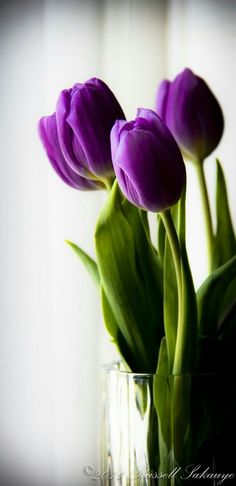 How to Grow Tulips and Other Perennials in Glass Jars in Your Home All Year Tul. How to Grow Tulips and Other Perennials in Glass Jars in Your Home All Year Tulips and other spring bulbe can be grow My Flower, Flower Power, Beautiful Flowers, Simply Beautiful, Flower Ideas, Growing Tulips, How To Grow Tulips, Bloom, Purple Tulips