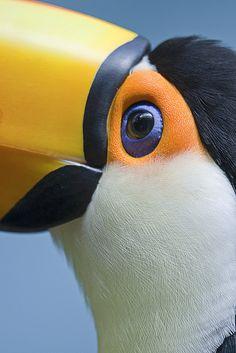 Toco toucan (Ramphastos toco) #bird