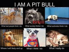 The life, of a pit bull.... I feel bad for them, they aren't really bad animals! My aunt had one, and he was a sweetie, she got another one, and he is a scaredy cat!!