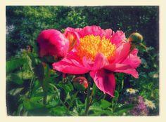Pionit alkavat kukkia.