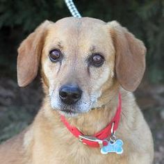 WENT TO RESCUE!!! - Moses (A030769) - TOP PRIORITY is an adoptable Beagle Dog in Springfield, IL. My name is Moses and until about a month ago, I had owners. I heard people here at SCAC talking about an eviction ... so m...