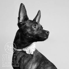 Penny the #bospin #dogphotography #petphotography