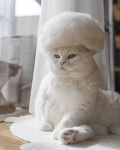 Solid white cats are beautiful and there are many questions about them.To help shed light we answer some of the most-searched questions about white cats. Animals And Pets, Funny Animals, Cute Animals, Crazy Cat Lady, Crazy Cats, Tiny Cats, Cute Cat Gif, Cat Hat, White Cats