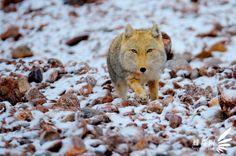 Tibetan Sand Fox- Vulpes ferrilata
