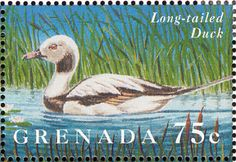 Long-tailed Duck stamps - mainly images - gallery format