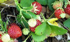 Выращивание клубники. Борьба с вредителями по совету Кизимы.