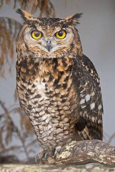 Amazing and beautiful Owl Pictures Beautiful Owl, Animals Beautiful, Beautiful Pictures, Owl Bird, Pet Birds, Owl Cat, Animals And Pets, Cute Animals, Owl Photos