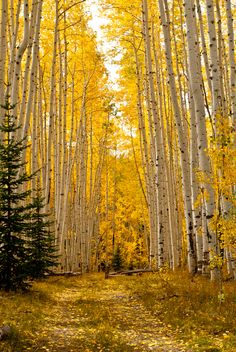 Last Dollar Road near Telluride, Colorado. Aspen lined road near Telluride, CO Mountain Photography, Nature Photography, Photography Tips, Beau Site, Aspen Trees, Photos Voyages, Nature Pictures, Rocky Mountains, The Great Outdoors