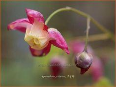 Epimedium rubrum