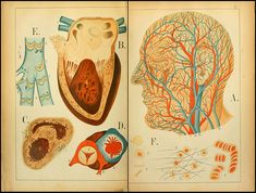 'An Atlas of Anatomy- or, Pictures of the Human Body in Twenty-Four Quartro Coloured Plates Comprising one Hundred Separate Figures, with Descriptive Letterpress' by Mrs Florence Fenwick Miller, The Human Body, Illustrations Médicales, Type Illustration, Medical Illustrations, Anatomy Art, Human Anatomy, Medical Anatomy, Medical Design, Vintage Medical