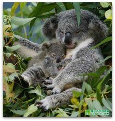 coalas