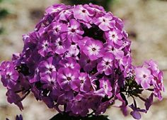 Garden Phlox is a herbaceous plant with alternate, simple leaves, on slender, green stems. The flowers are white, pink, red, or purple, borne in summer through fall.